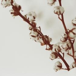 cotton-922881_1920